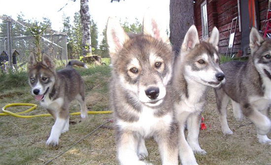 Puppies after Jarvik's Triton
